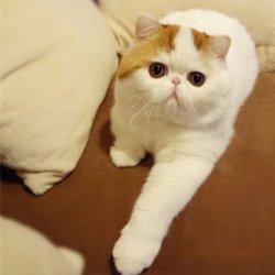 加菲猫红小胖可爱小猫咪萌照