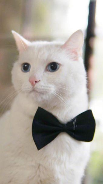 可爱白猫酥饼