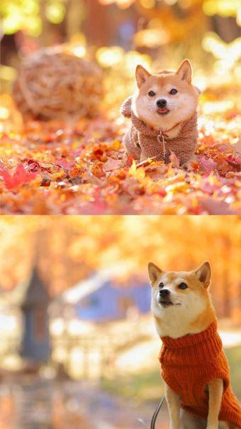 微笑天使柴犬