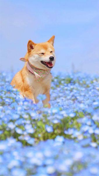 治愈系微笑柴犬