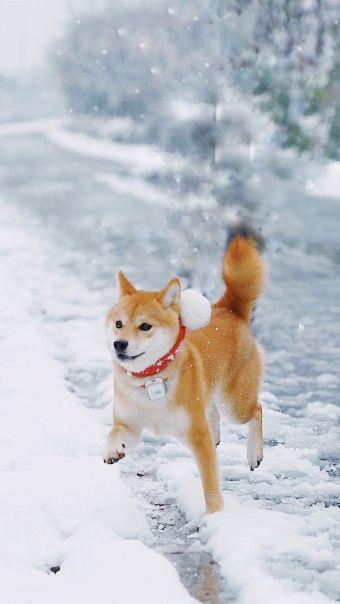 雪地里的柴犬