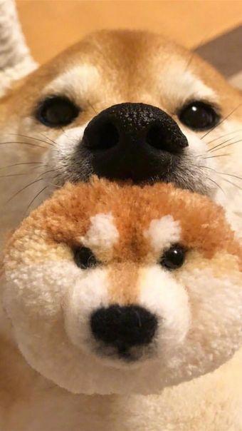 萌萌哒日本柴犬